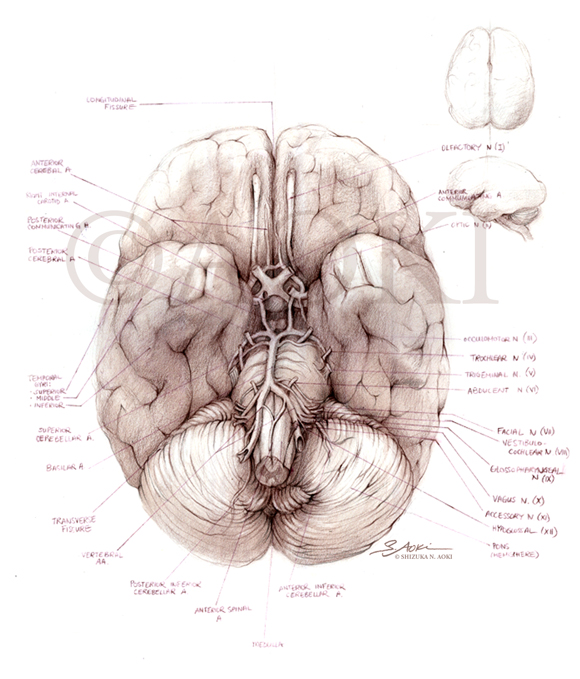 Inferior View of the Brain with Cranial Nerves Medium: Verathin colored pencils ©Aoki | Anatomize Medical Media Inc.