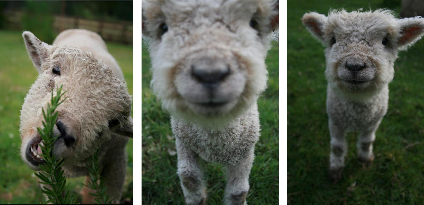 When we grow up… - We make the best wool in the world.See some of our rugs here…