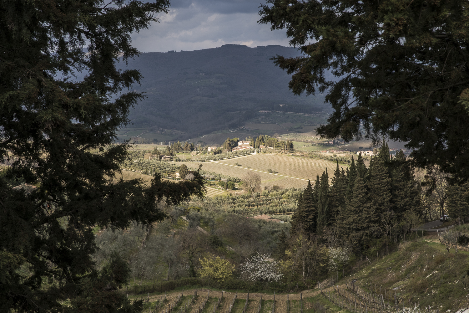 Sunlight breaks through the clouds to illuminate grape vines in Chianti Classico.