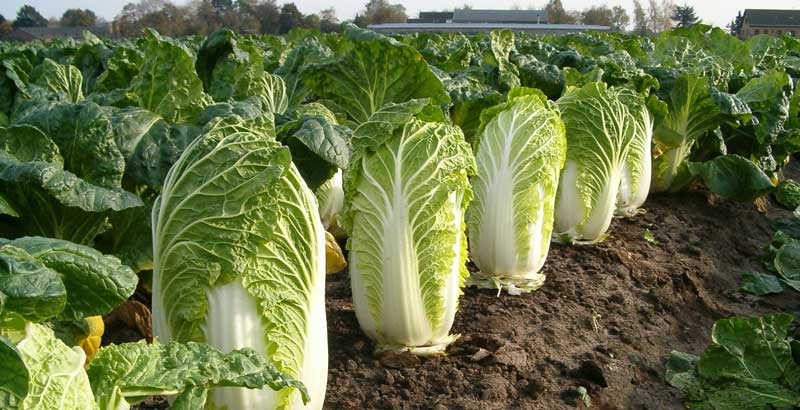 napa cabbage is a cold weather veggie that tastes crisp and light