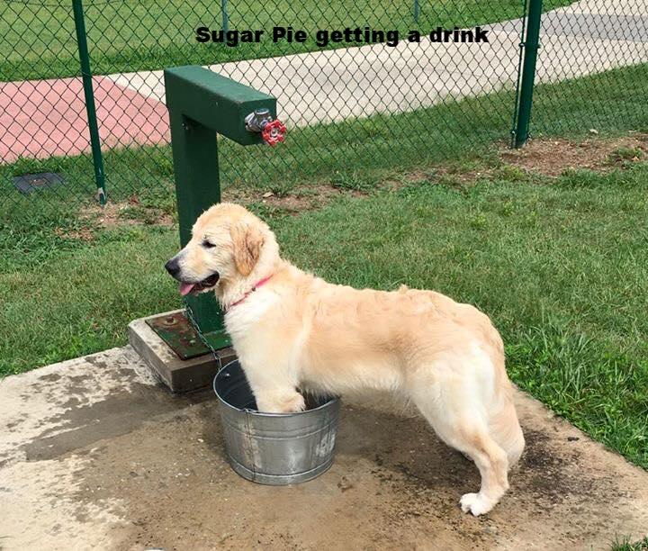 Sugar Pie getting a drink.jpg