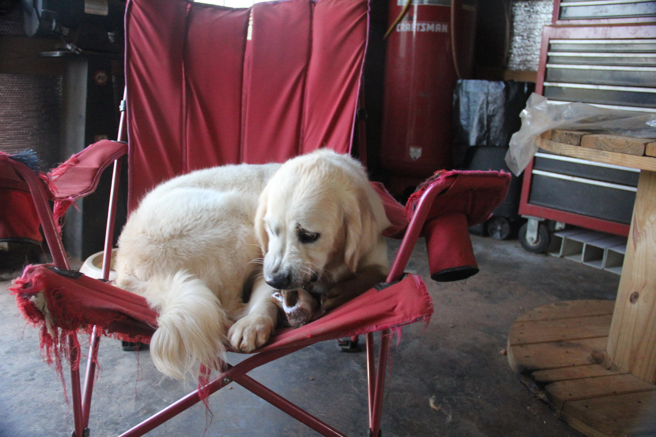 Shiloh found a comfy chair. Looks like she has been eating it????