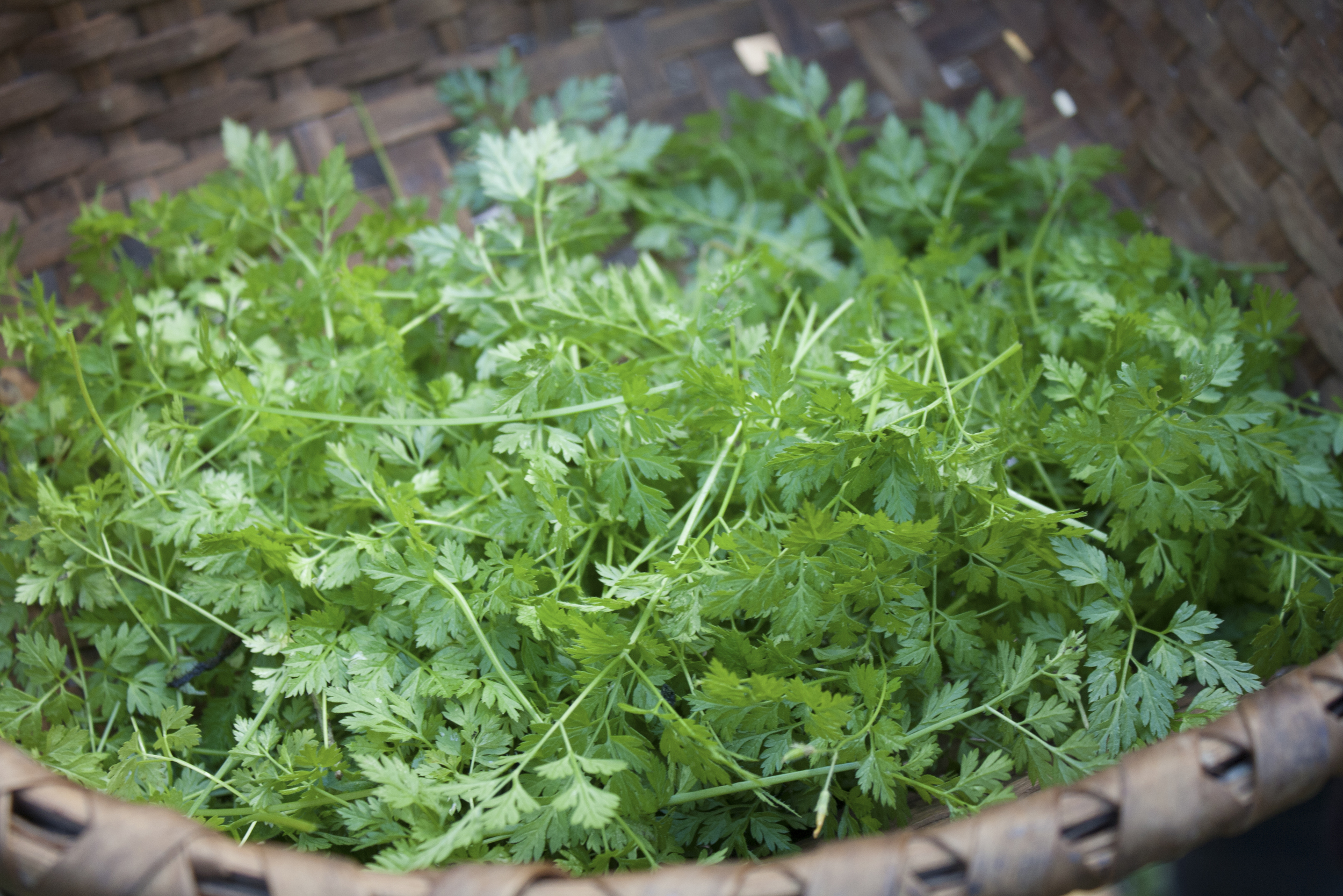 Our final basketful of beautiful chervil! A member of the parsley family, chervil will brighten our meal and aid digestion.