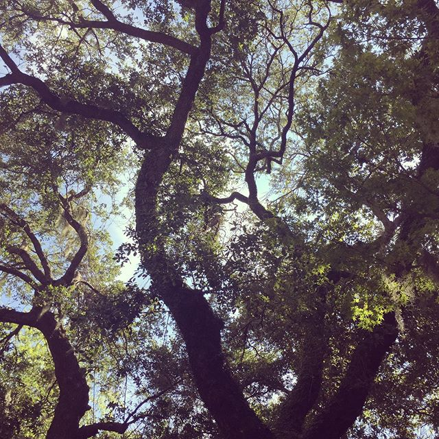 I could stare at these trees all day. #yogaunderthetrees #angeloak