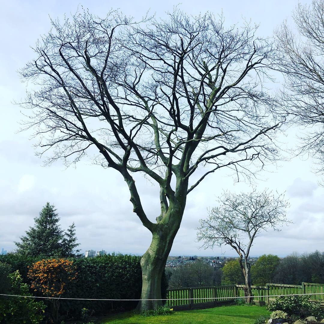 Completed Crown Reduction on a Beech Tree in Stockport.