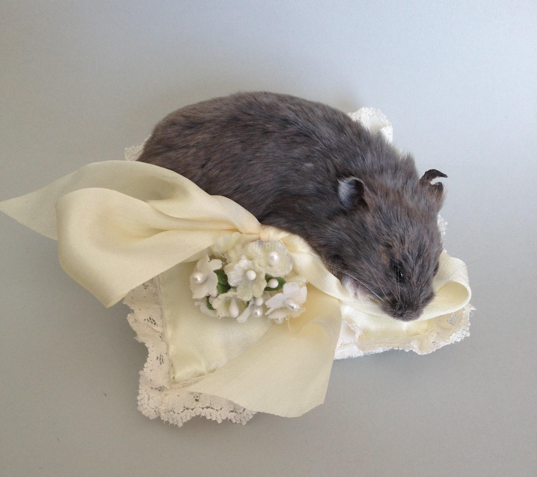 Daisy - pet hamster 2014.jpg
