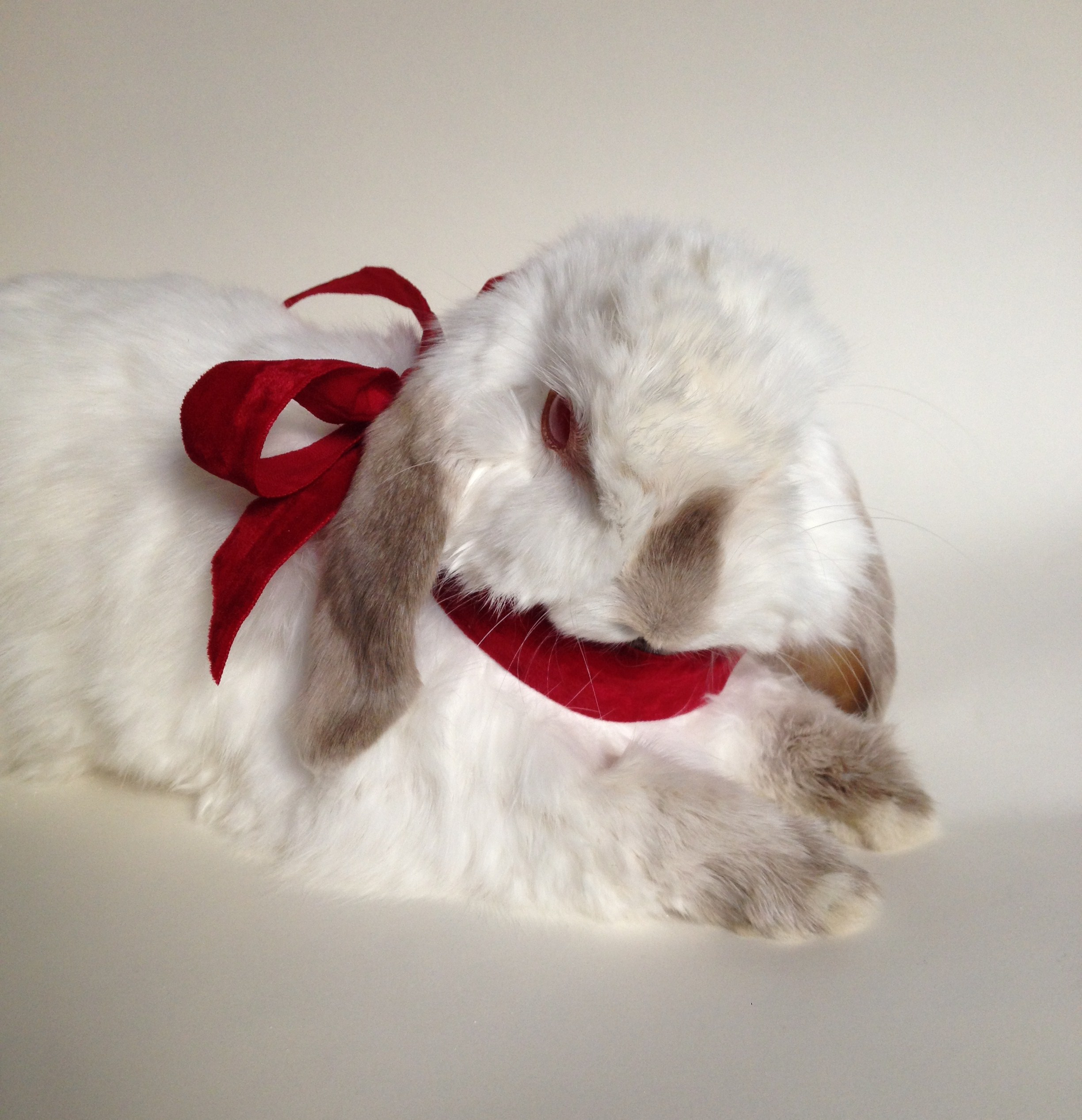 Elvis - pet bunny 2015.jpg