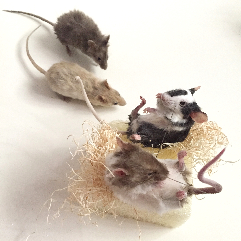 mice in progress