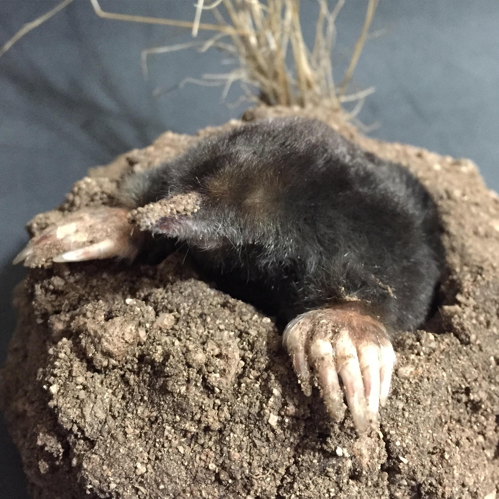 Natural Habitat Mole