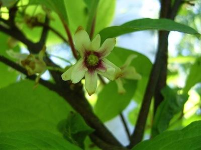 Flower from Schisandra chinensis fruit plant