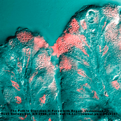 A surface mucous cell bordering on the stomach lumen secretes mucus (pink stain).
