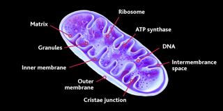 Mitochondria-diagram.png