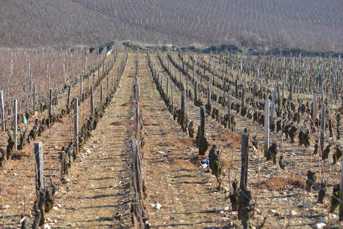 A chemically farmed vineyard in Vsne Romanée
