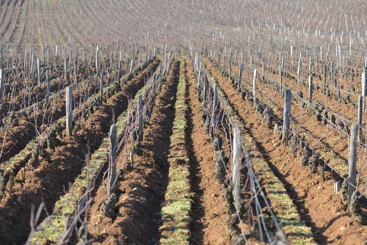 The vines of Romanée-Conti