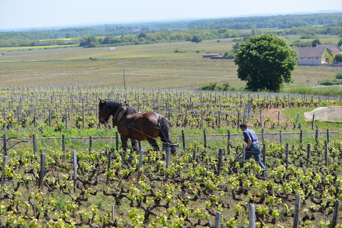 ploughing Les Amoureuses, Chambolle Musigny, Burgundy