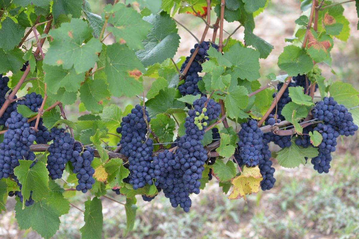 Ripe Burgundy Pinot Noir