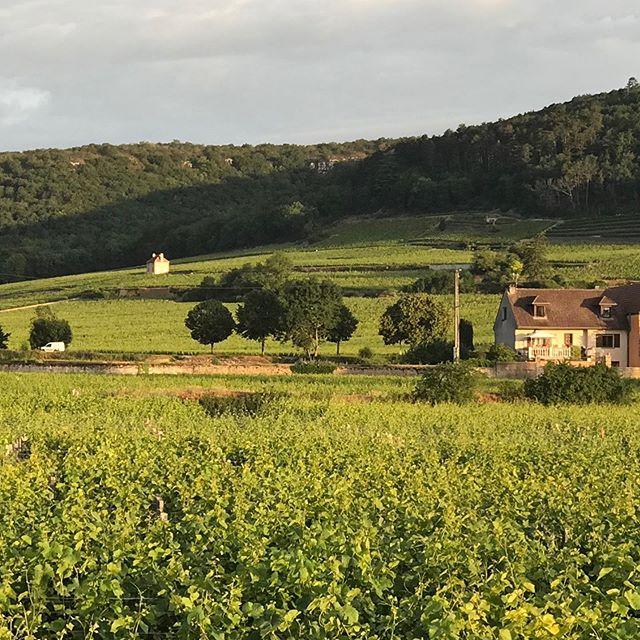 Early morning sun on the vineyards behind @hotellesdeuxchevres in #gevreychambertin #winelover #foodandwine #luxurylifestyle #yogaeverydamnday #frenchwine #magnifiquefrance #burgundywine