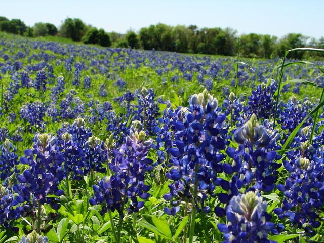 texas_highways_bluebonnets.jpg