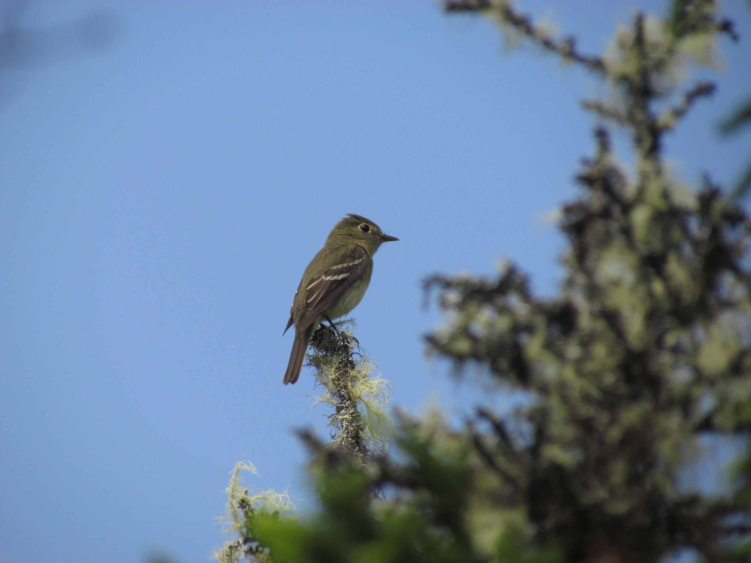Yellow-bellied Flycatcher on Gerard Island