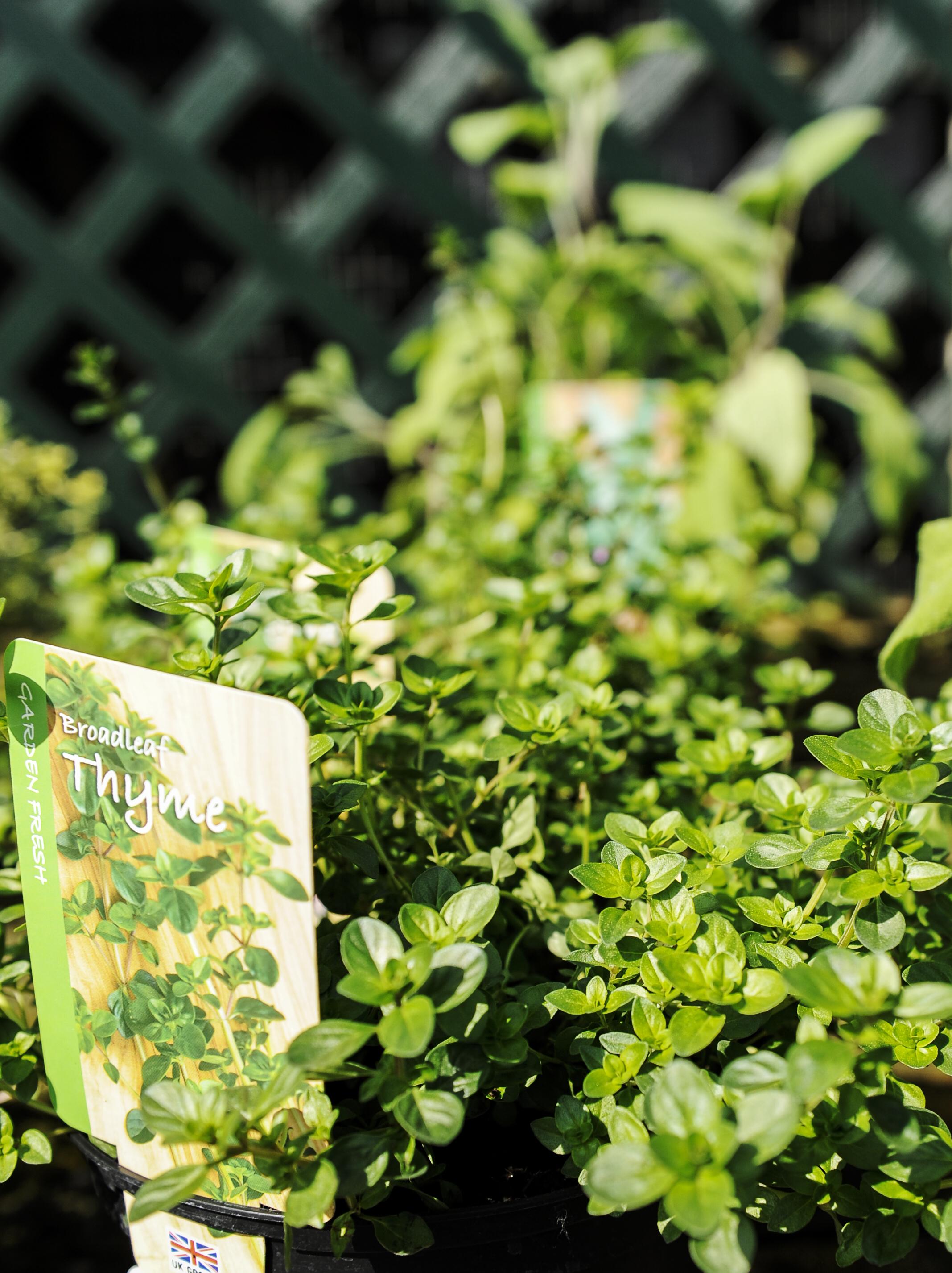 Growing Thyme