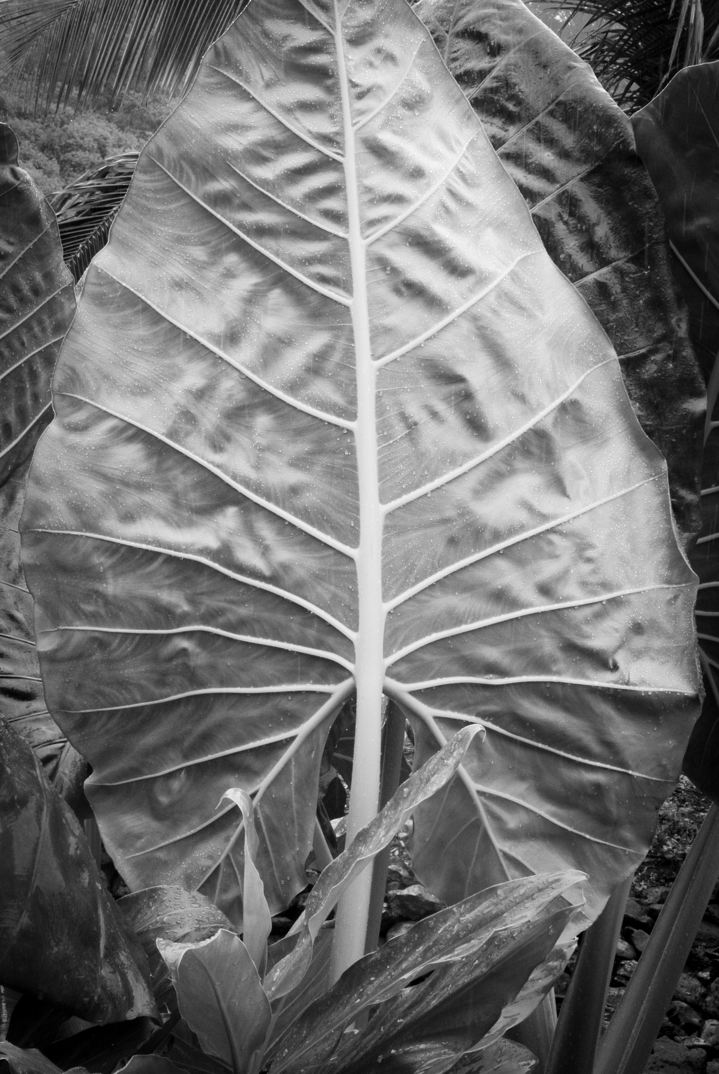 `Ape, McBryde Gardens, Kauai, Hawaii, 2018