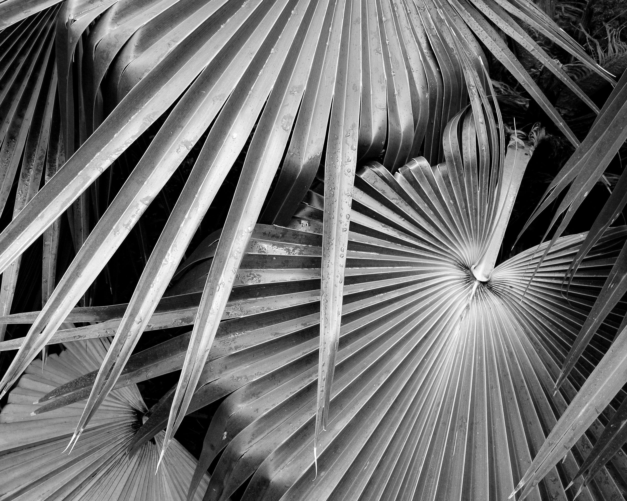 Palms, McBryde Gardens, Kauai, Hawaii, 2018