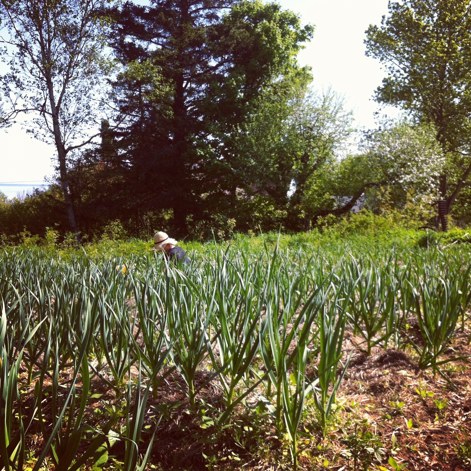Chrissy weeding the garlic.