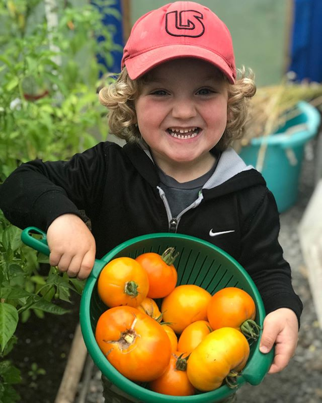 Old German Heirloom Tomatoes harvested by our lil' helper. . . . #tomatoes #heirloomtomatoes #nospray #growyourown #raisingboys #salsa #greenhouse