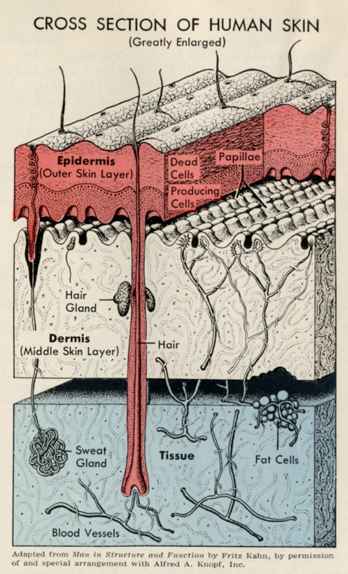 A cross section of skin , from the 1965 World Book Encyclopedia. Very straightforward: a black-and-white drawing enlivened and clarified with tints. Given a good key drawing (no small thing) it would take about 30 seconds to do this by multiplying the black layer in Photoshop and throwing a little color behind it. (Illustrator credit unavailable.)