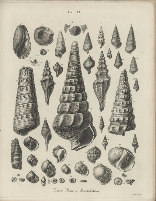 """More old stuff from Britain. Specimens from a book of English fossil finds. To some degree like the spearheads above, a stone wall built from tiny pebbles and varied rocks, mortared with negative space. """"Eocene Shells at Bracklesham"""" from  The Geology and Fossils of the Tertiary and Cretaceous Formations of Sussex, by Frederick Dixon . 1850. This (and a thousand other printed pictorial excavations) at the wonderful blog  Bibliodyssey ."""