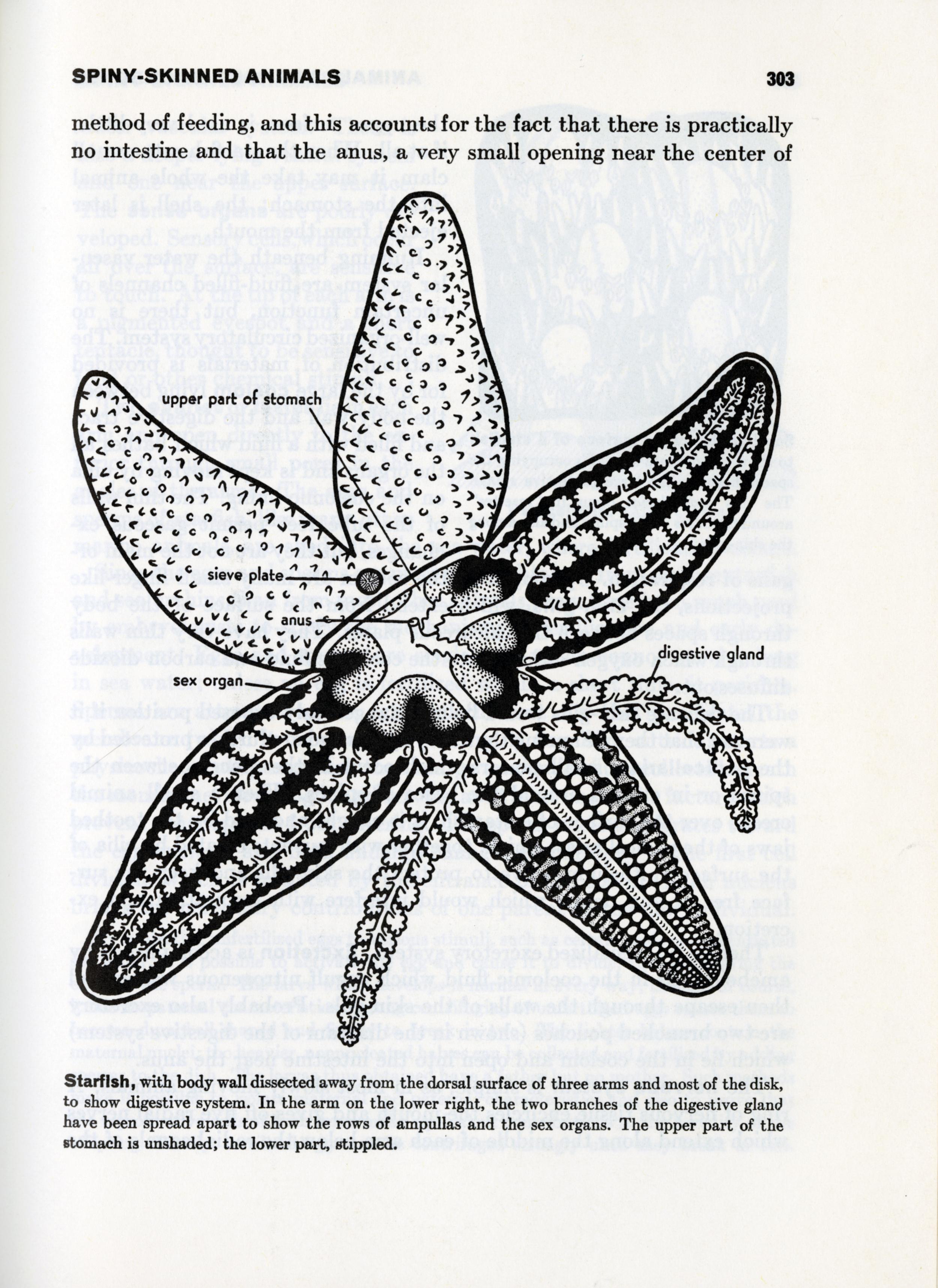 Elizabeth Buchsbaum,  Animals Without Backbones (2nd edition). Starfish innards.