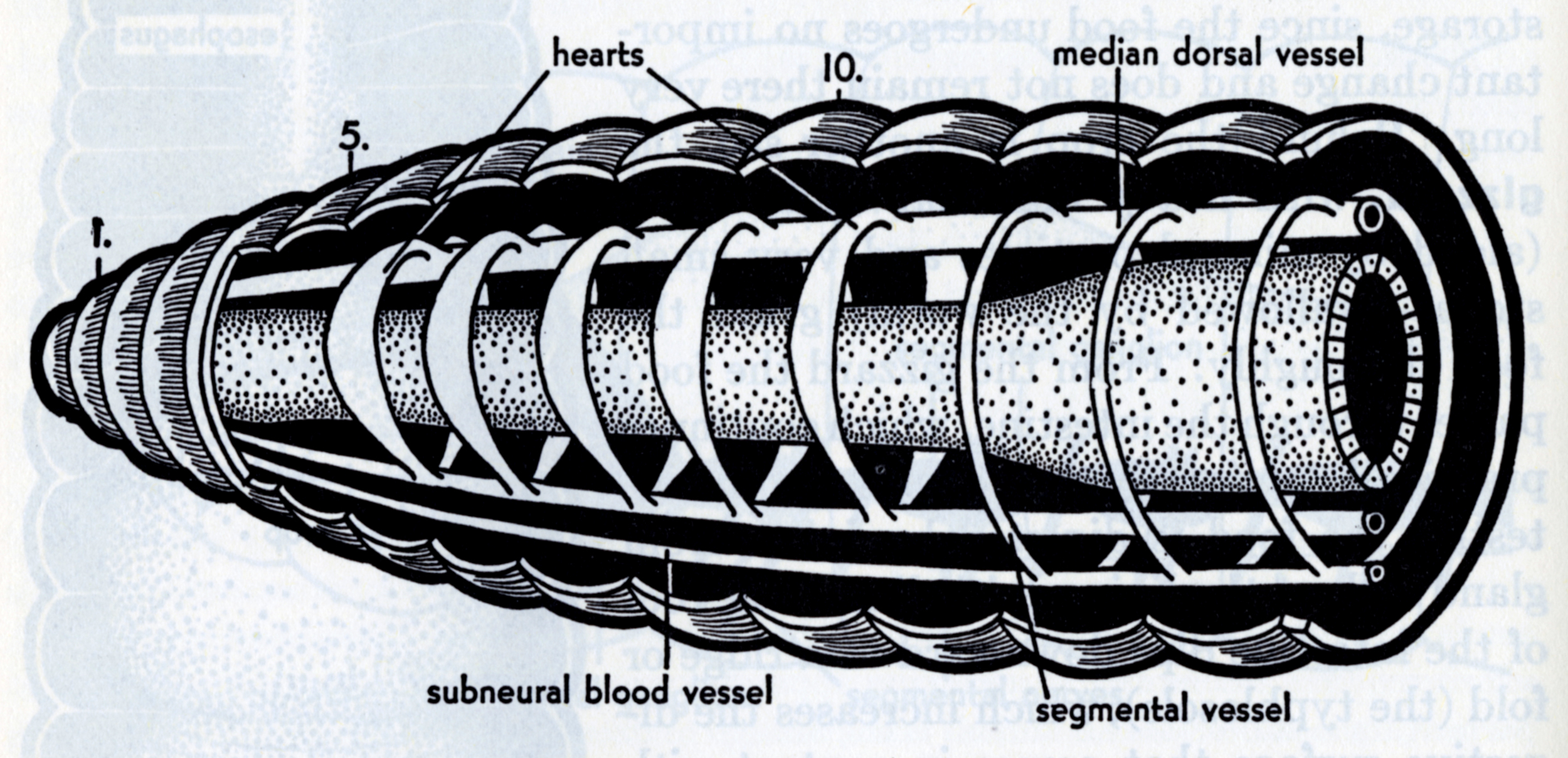 Elizabeth Buchsbaum,  Animals Without Backbones (2nd edition). Cutaway diagram inside a worm.