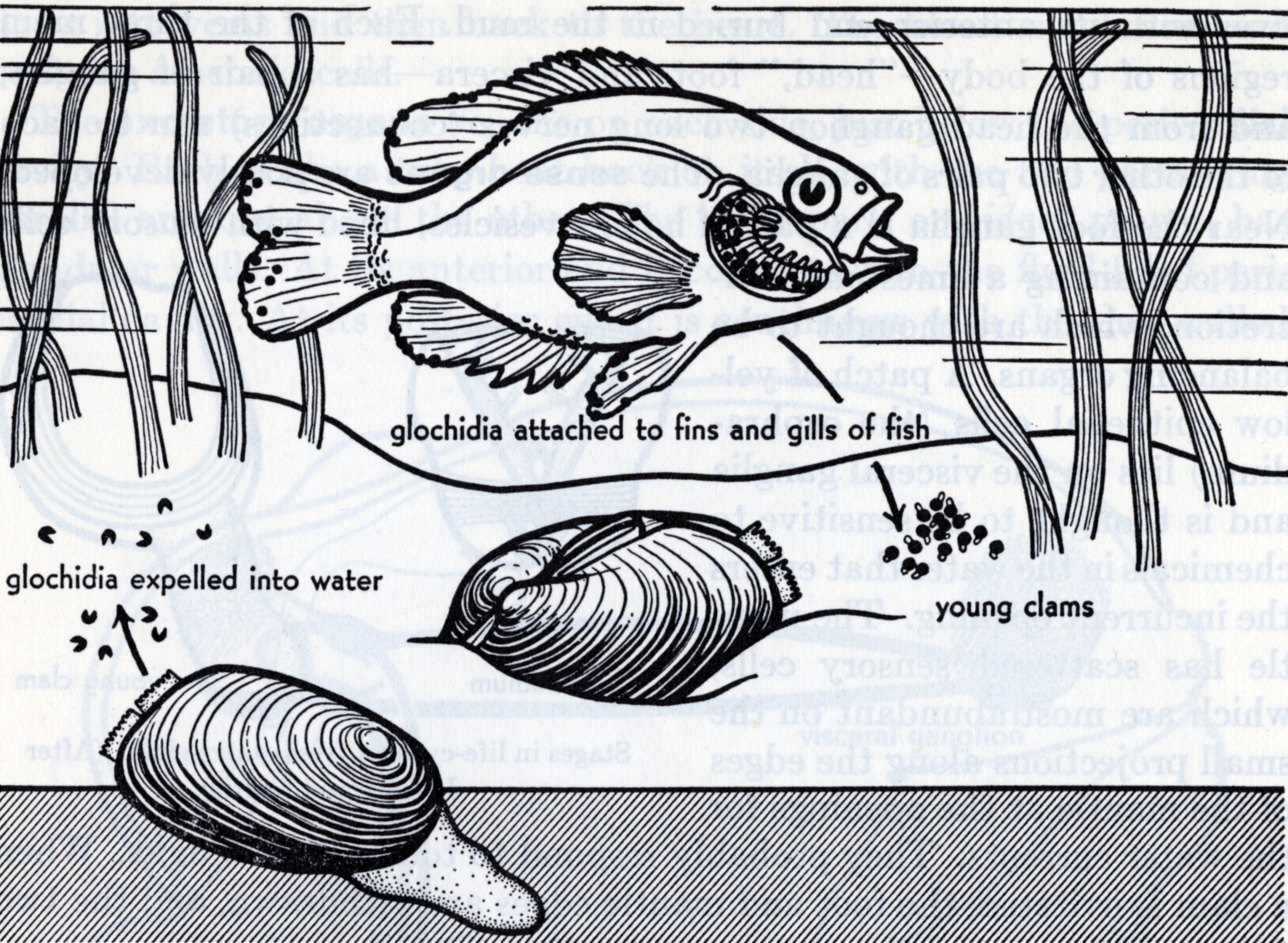 Elizabeth Buchsbaum,  Animals Without Backbones (. Illustration of the parasitic life cycle of a freshwater clam.