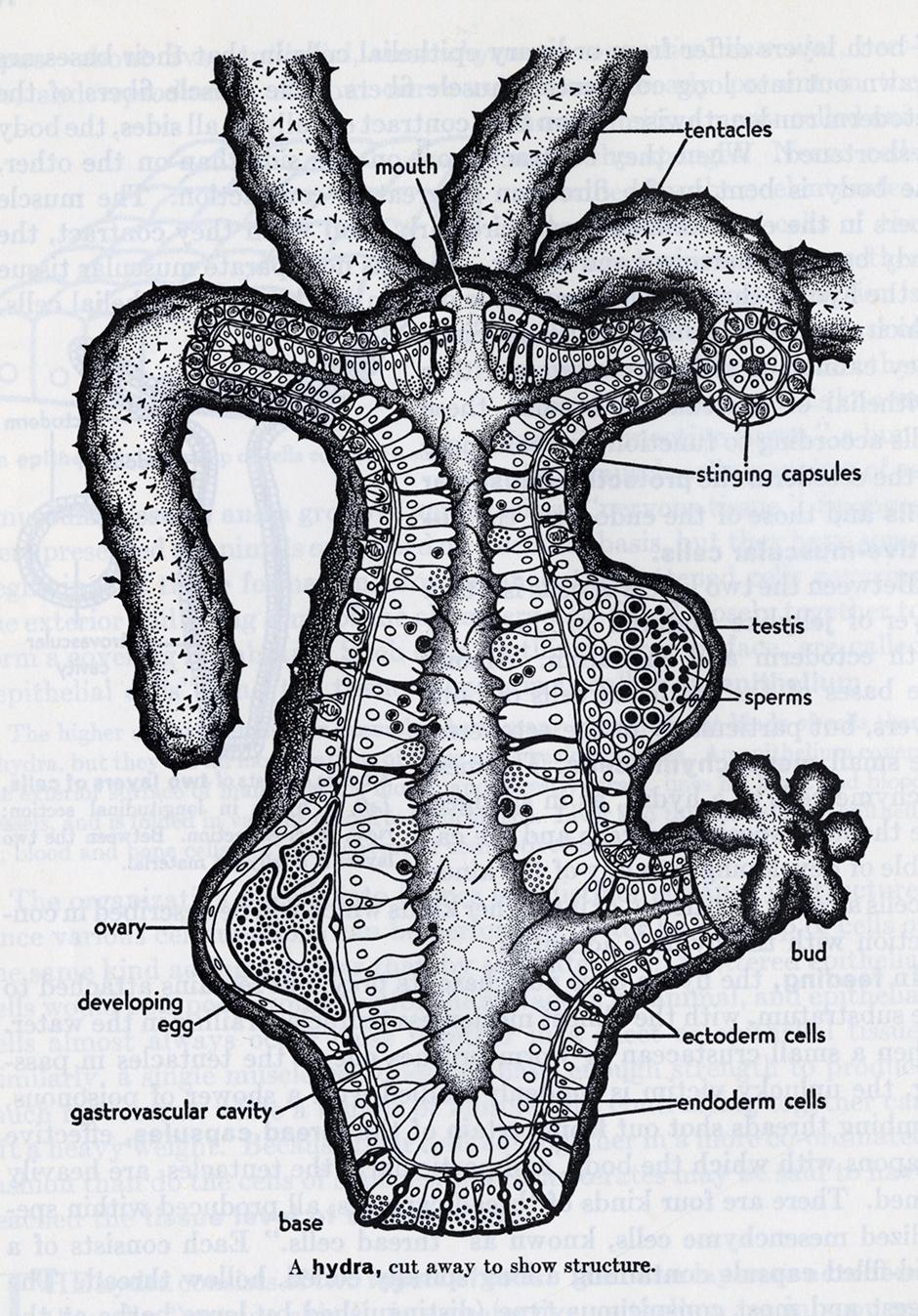 Elizabeth Buchsbaum, Animals Without Backbones.  Interior structure of a hydra.