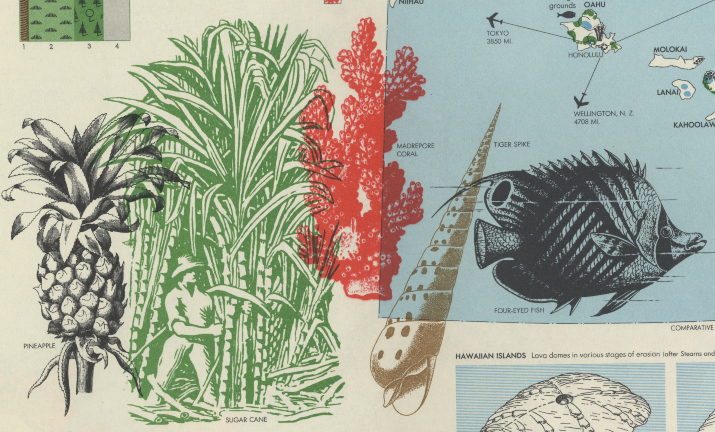 """World Geographic Atlas, designed by Herbert Bayer. Published by the Container Corporation of America (CCA) in 1953. This is a breathtakingly beautiful book. Bayer was a Bauhaus graphic designer relocated to the States. This particular image shows flora and fauna of the Hawaiian Islands. The items overlap but retain their integrity through color and contrast. An approach which all but eliminates an implied """"container"""" for the illustrations (contrast, for example, with the French vocabulary words). This is a fragment of a large page, dense with information but intelligently placed."""
