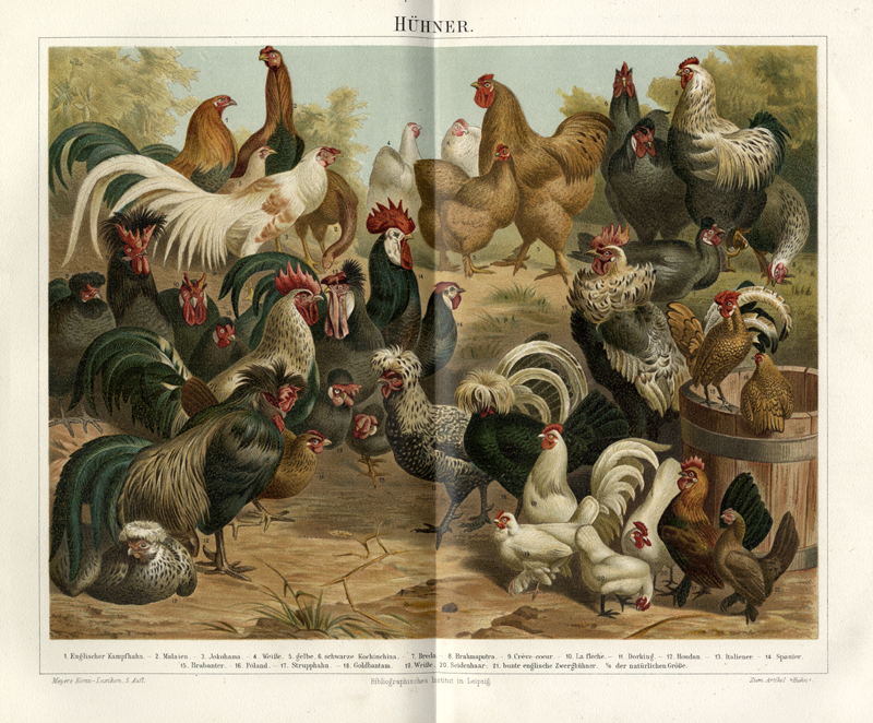 Chicken breeds, balancing spatial presentation with display of critical information. There is a little cheating going on: the ground plane has been tipped up, and scale shifts have been downplayed. Cleverly done. From  Meyer's Lexikon  (1896) , a German encyclopedia interspersed with lovely chromolithographs like this one.