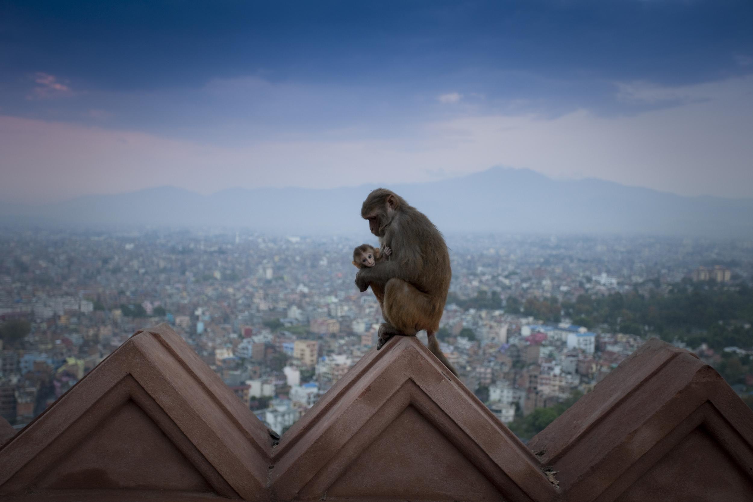 nepal_monkey_and_baby.jpg