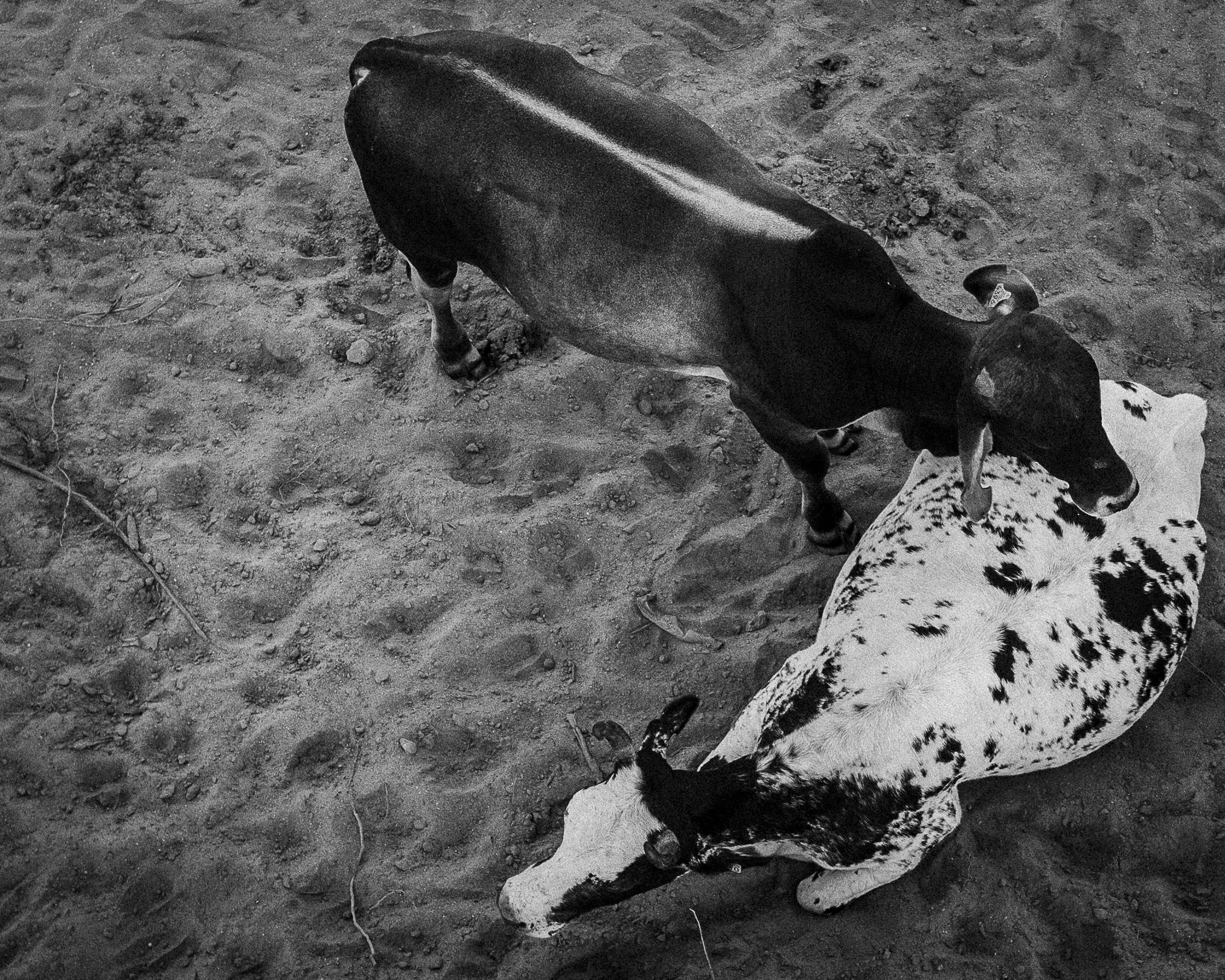 Cabo Cows