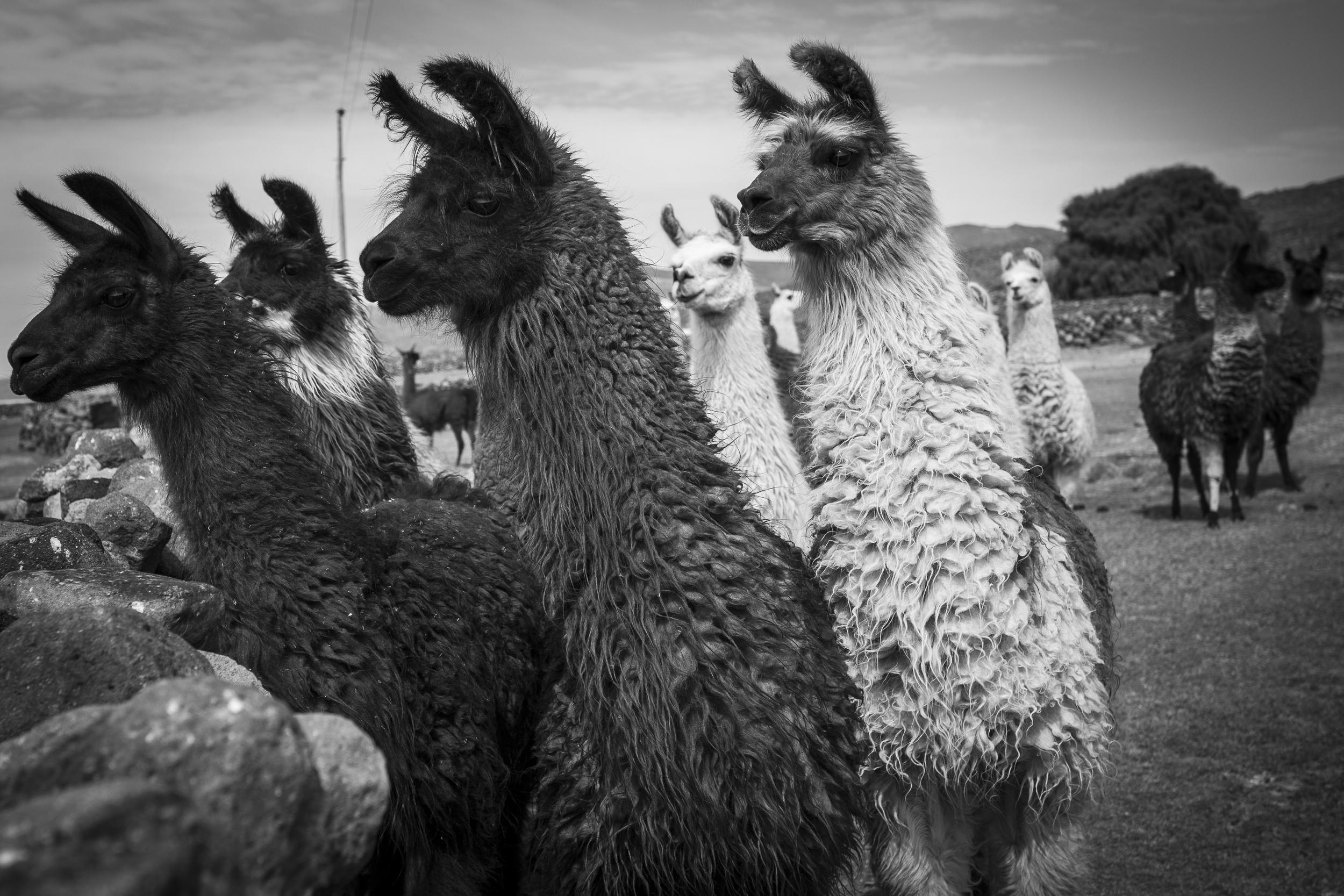 bol llamas bw 4x6.jpg