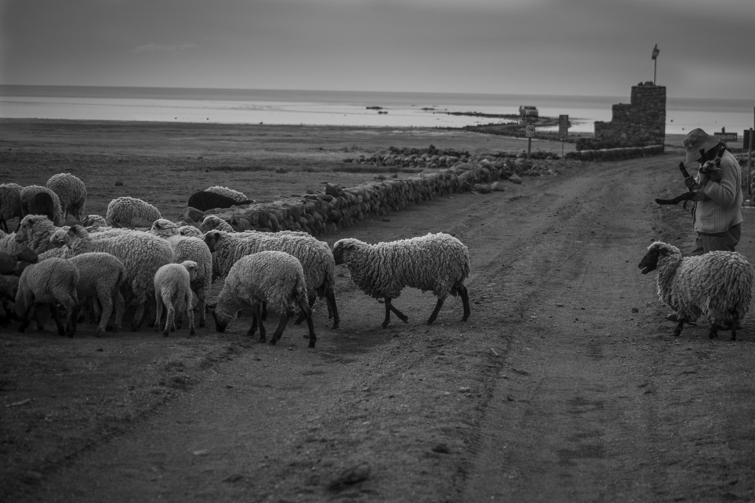 bol sheep herder with baby sheep bw 4x6.jpg