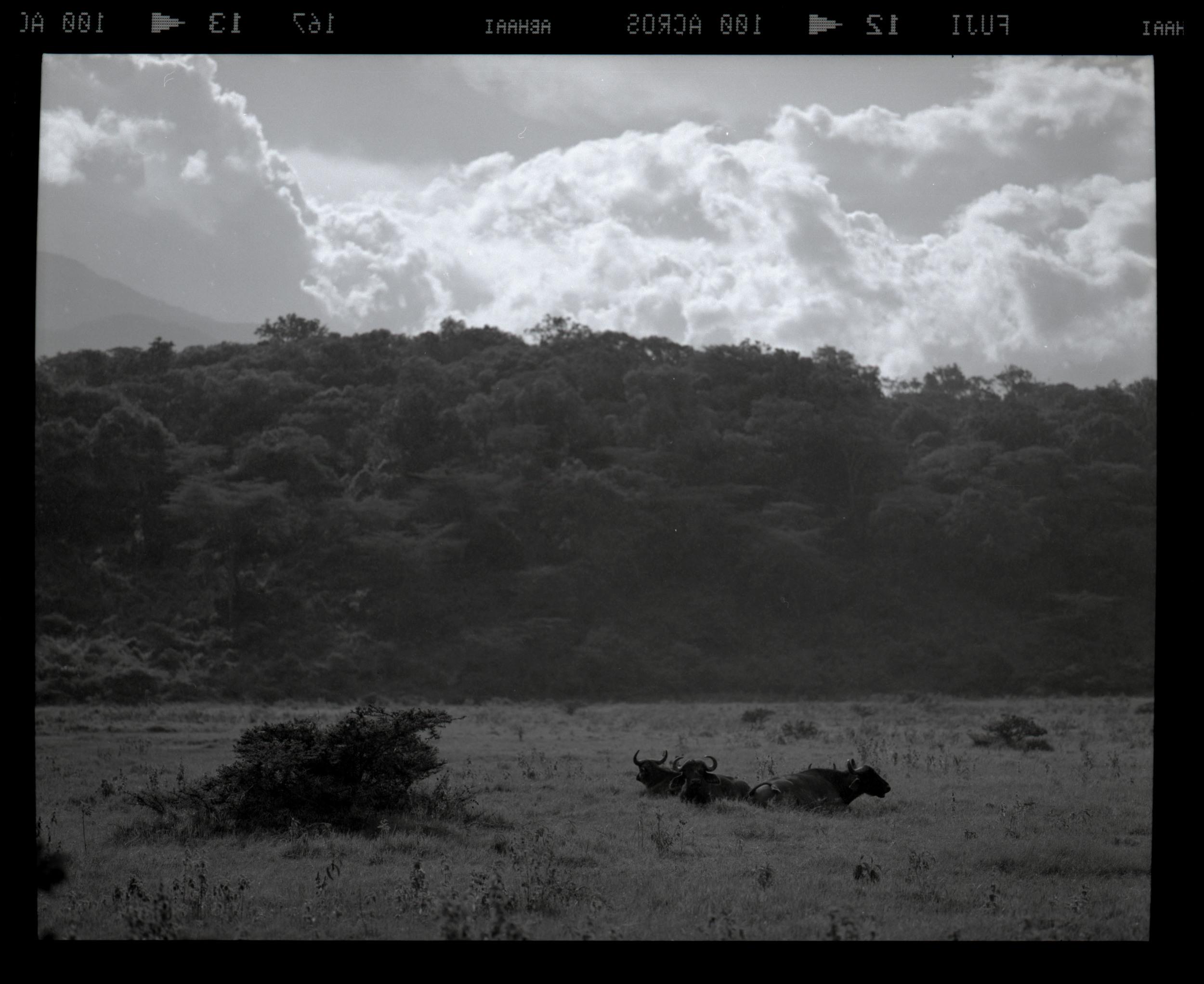 """Water Buffalos and Impending Rain"""