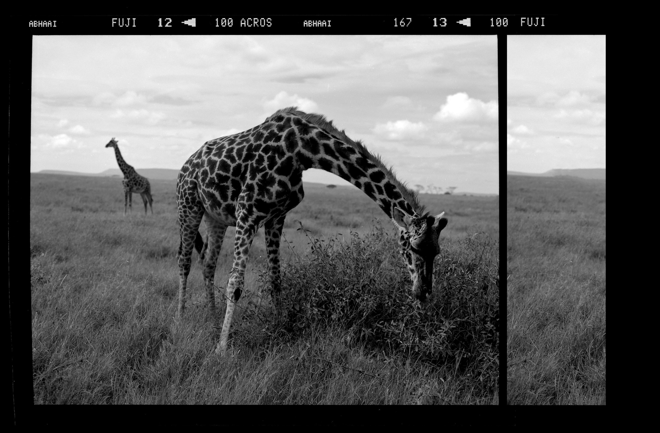 """""""Narrative of a Peaceful Giraffe"""""""