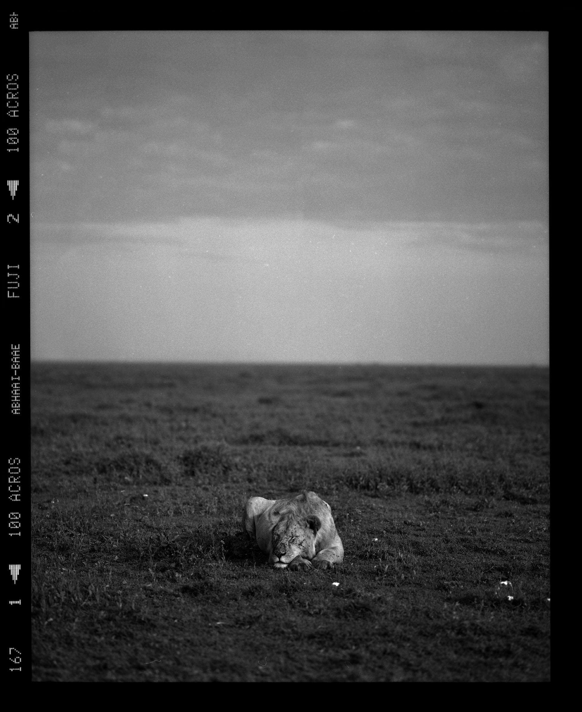 """Lion Sleeping, and I Shoot"""