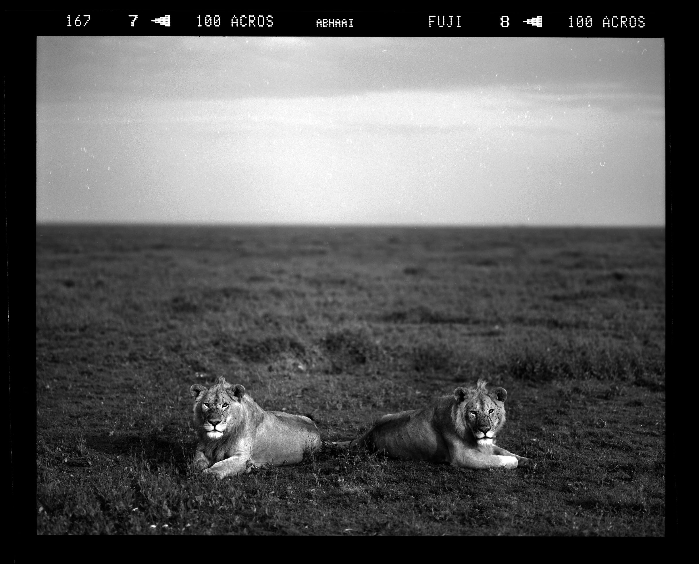 """""""Coalition of Young Lions, The Serengeti"""""""