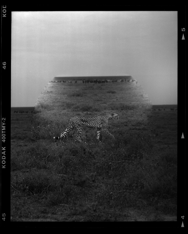 """Cheetah moving across the Serengeti"""