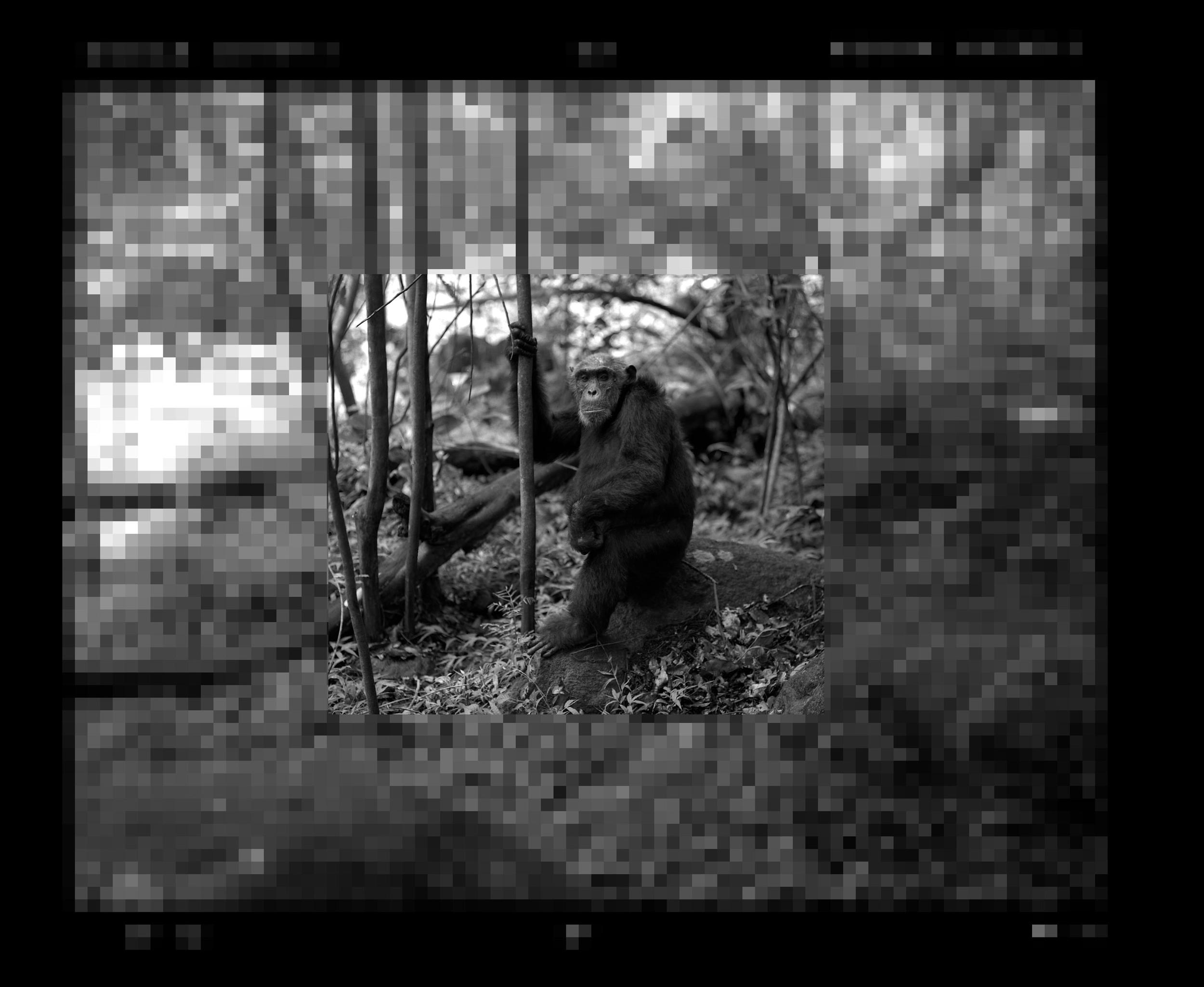 """""""Chimpanzee Enveloped by a Digital World"""""""