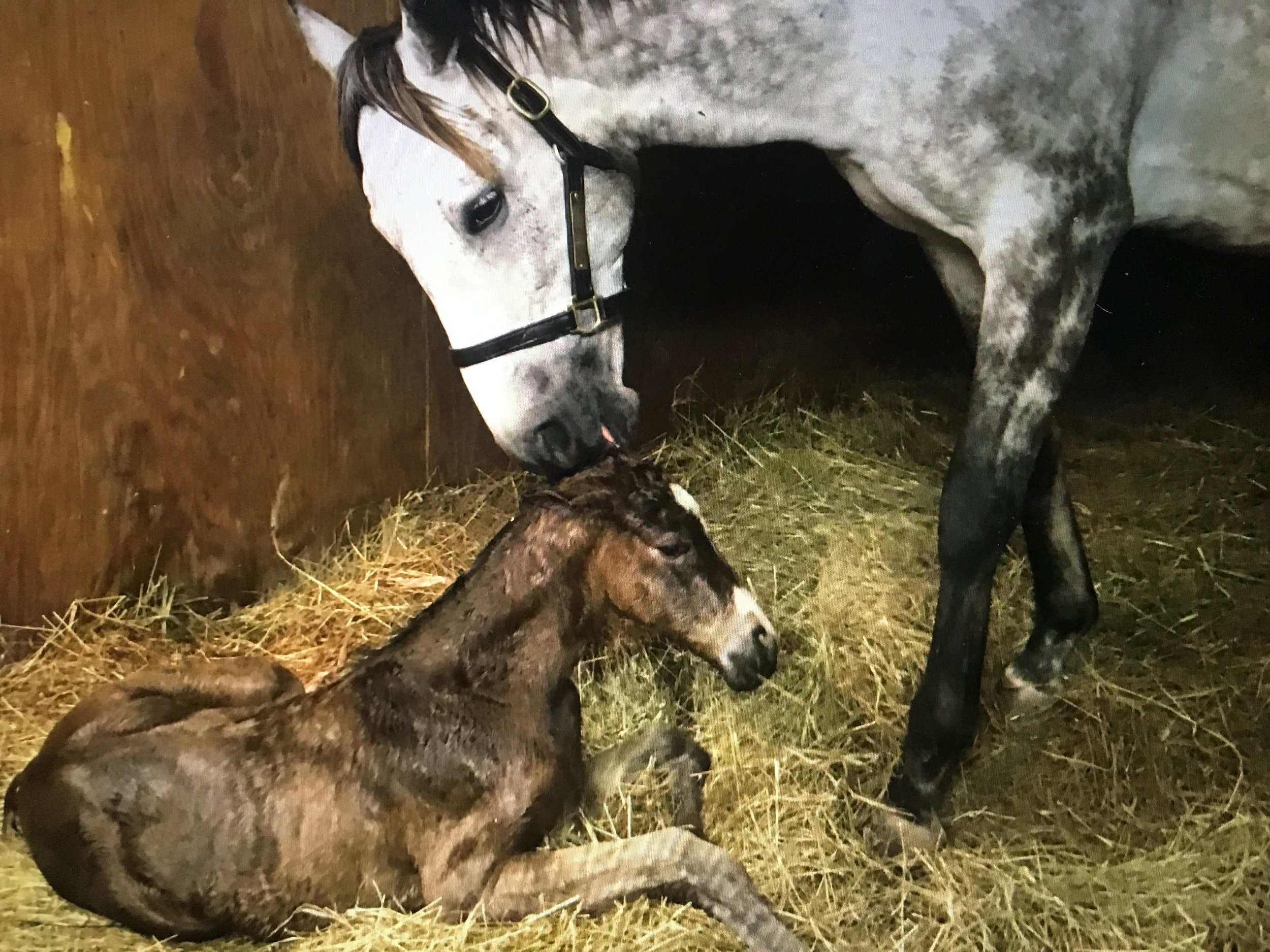 Capella Dancer and 2017 filly by Mr. Speaker at Rose Hill Farm.  Photo credit: Tony O'Campo at Rose Hill Farm.