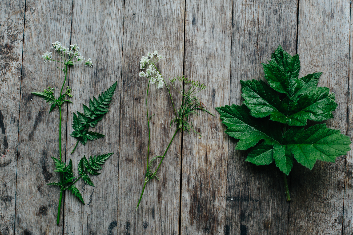 From left to right: Cow Parsley, wild carrot (also good for dyeing) and hogweed leaves (no flowers are out yet)