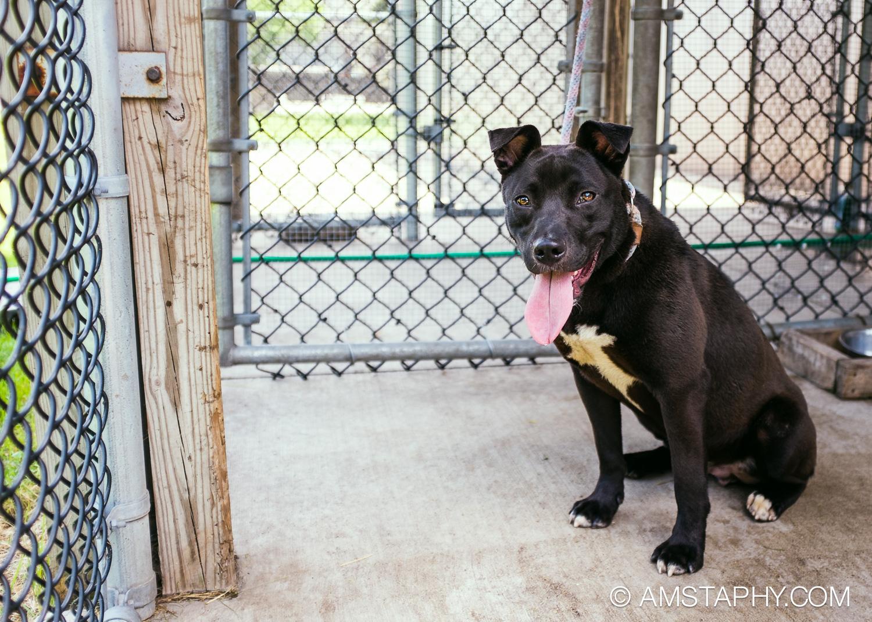 dog-adoptable-06-26-14-kodiak-2