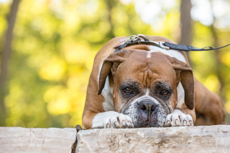 Boxer Dog Photography